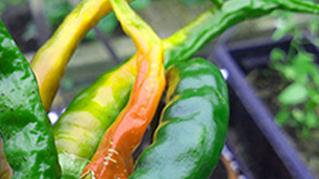 veg chilli